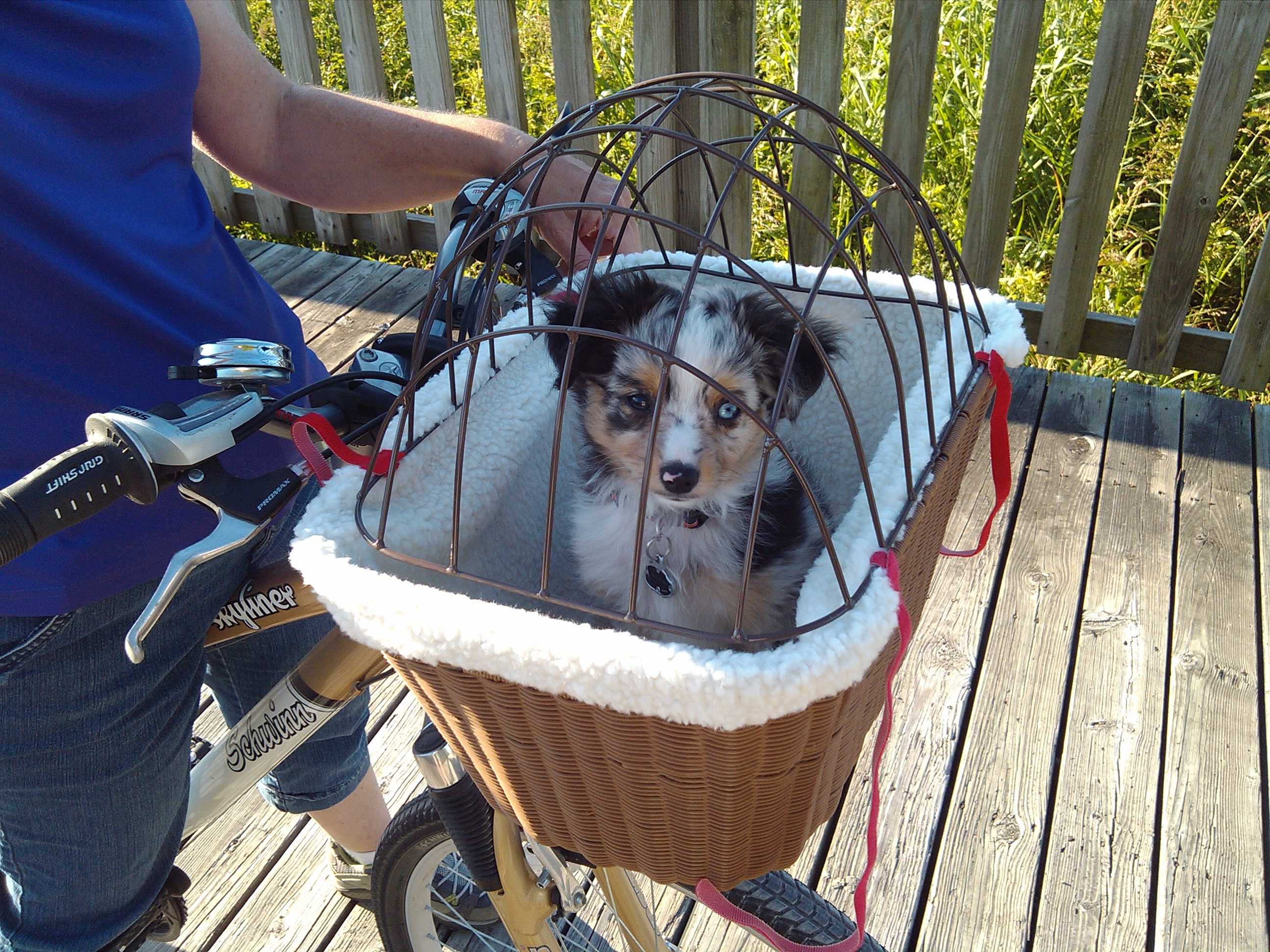 Puppy in Bicycle Basket