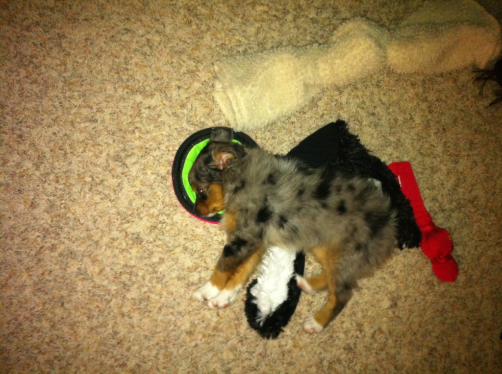 mini aussie puppies � alangus mini aussies a dog blog