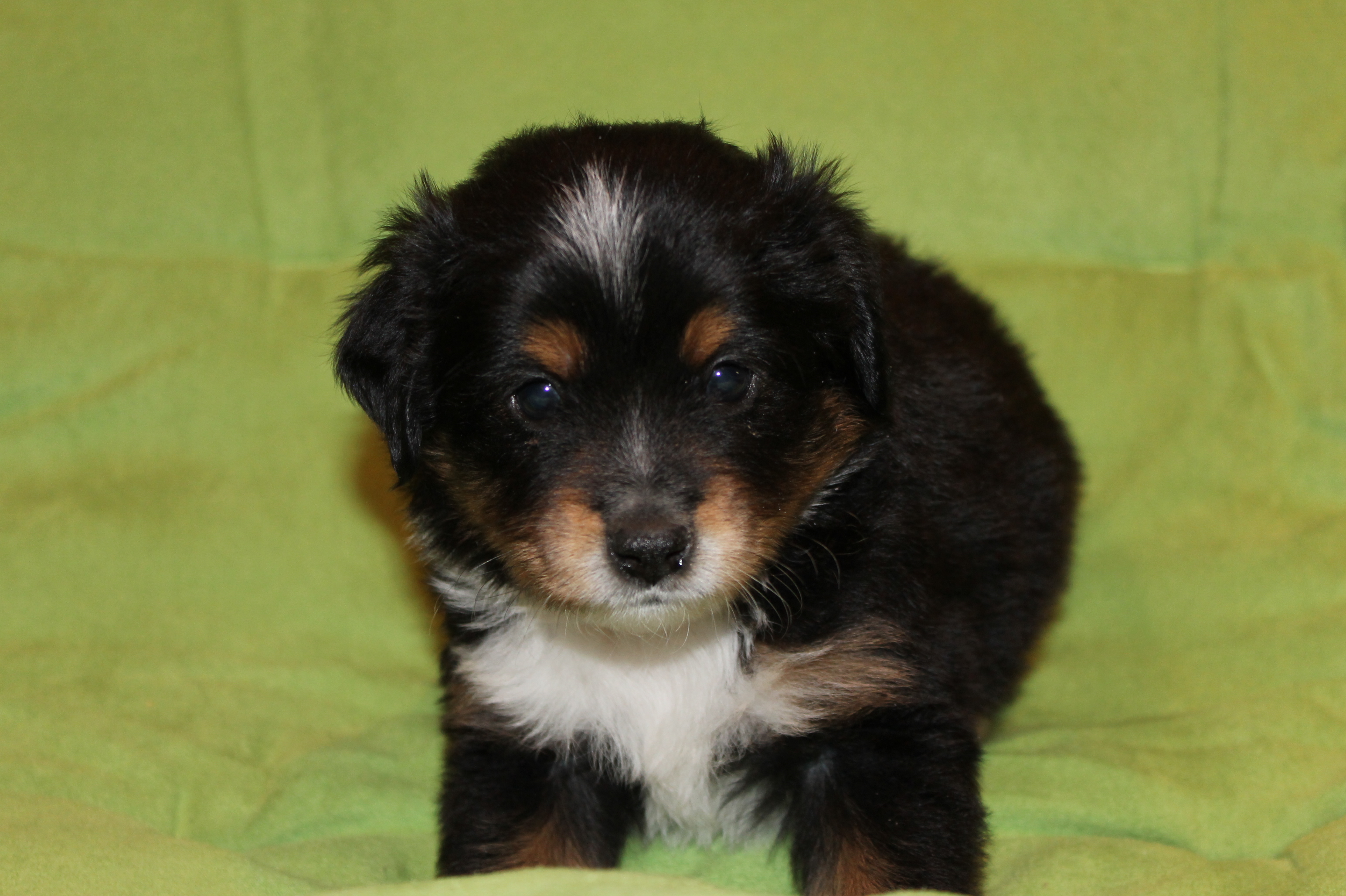Black Tri Miniature Australian Shepherd Male