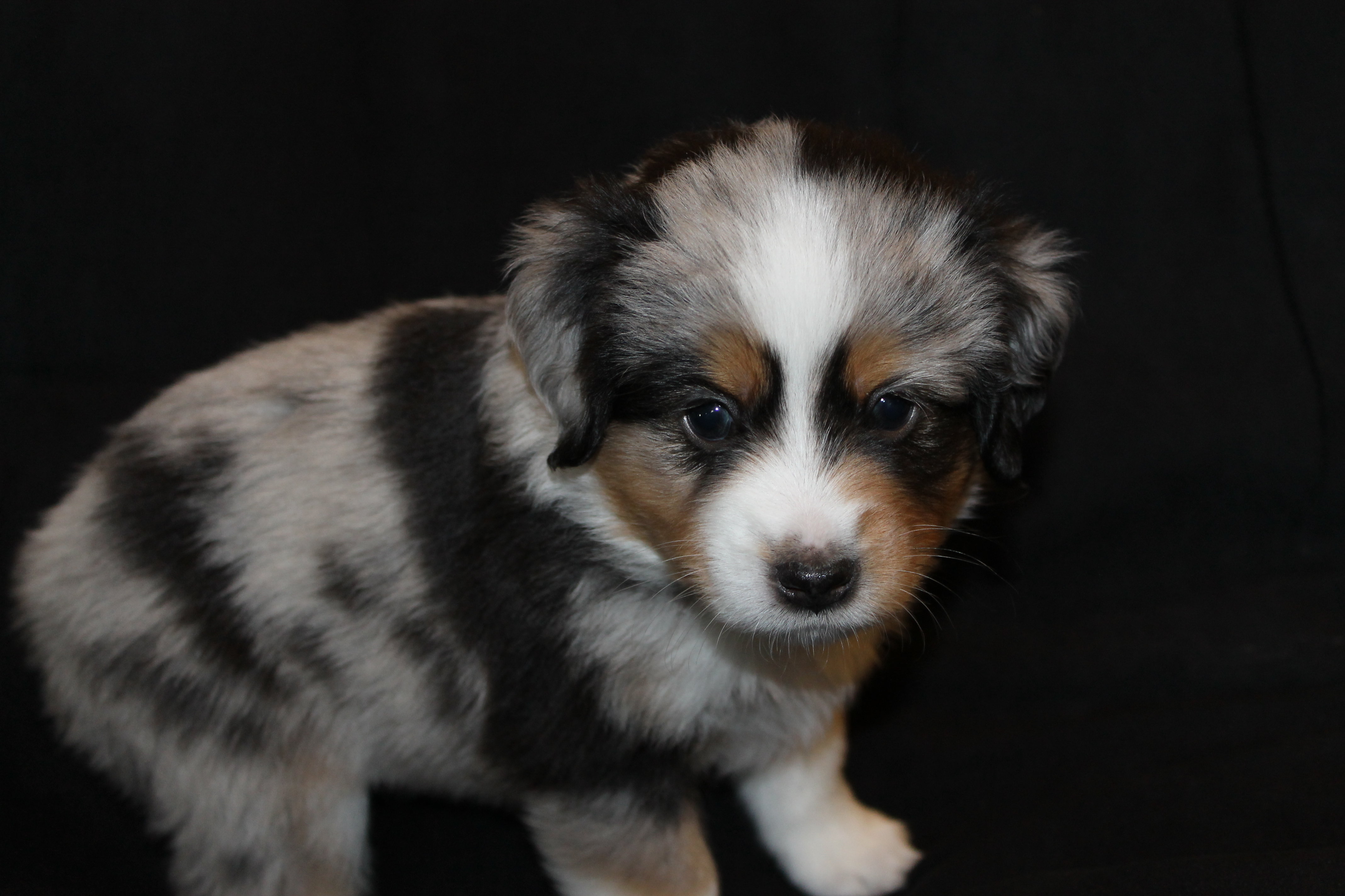 Blue Merle Miniature Australian Shepherd Female