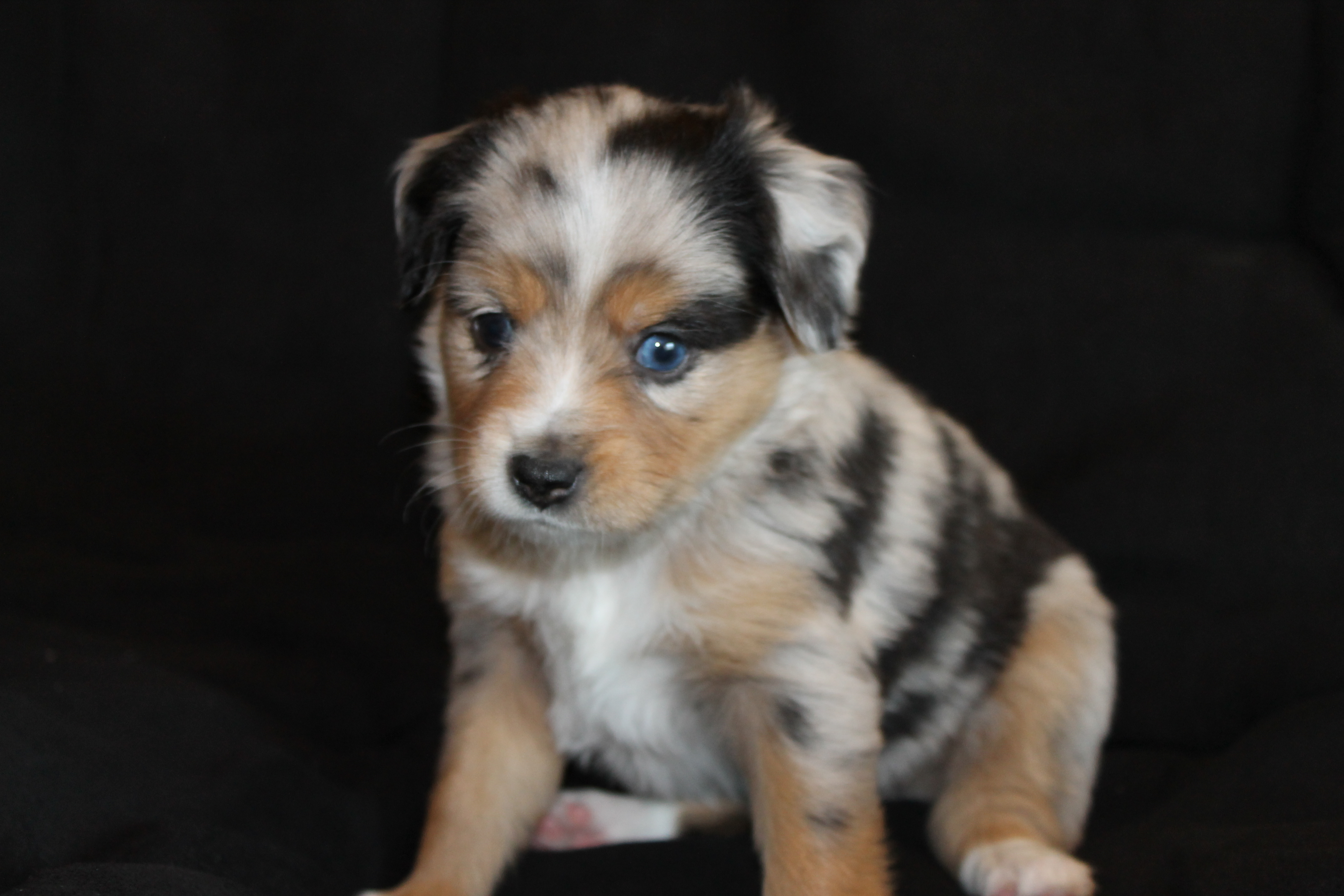 Blue Merle Miniature Australian Shepherd Male