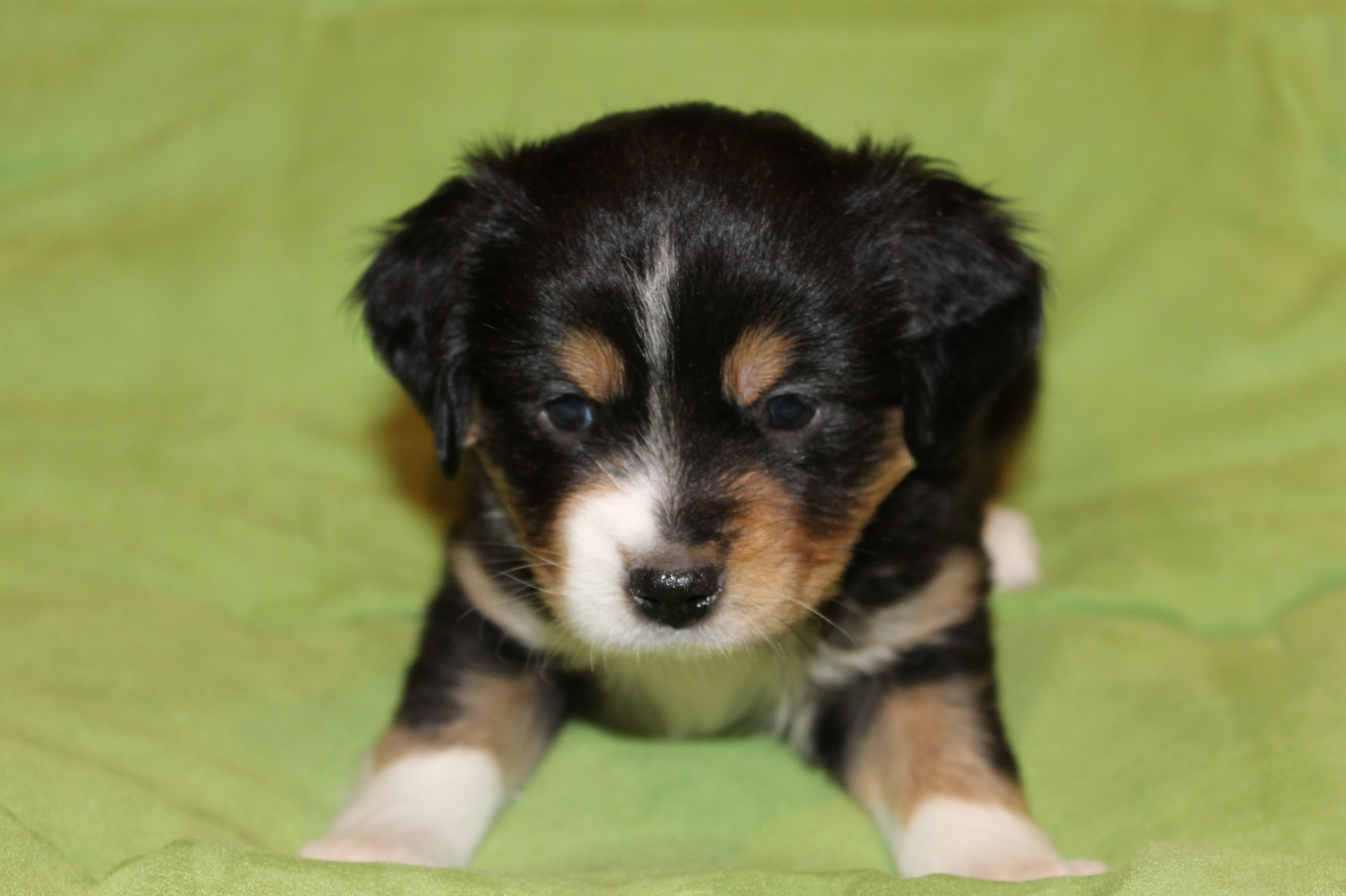 Black Tri Miniature Australian Shepherd Female