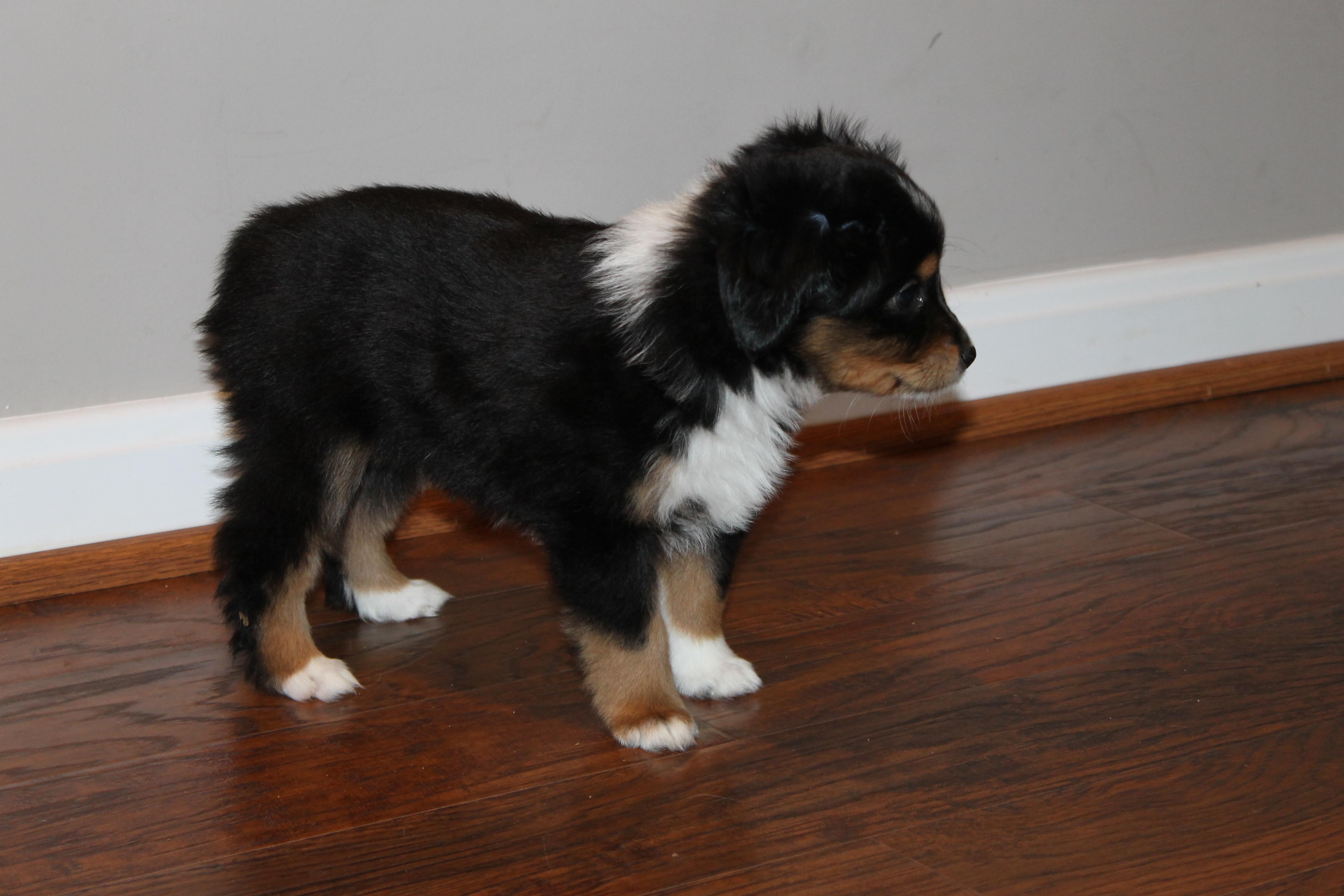 Black Tri Mini Aussie Male Puppy