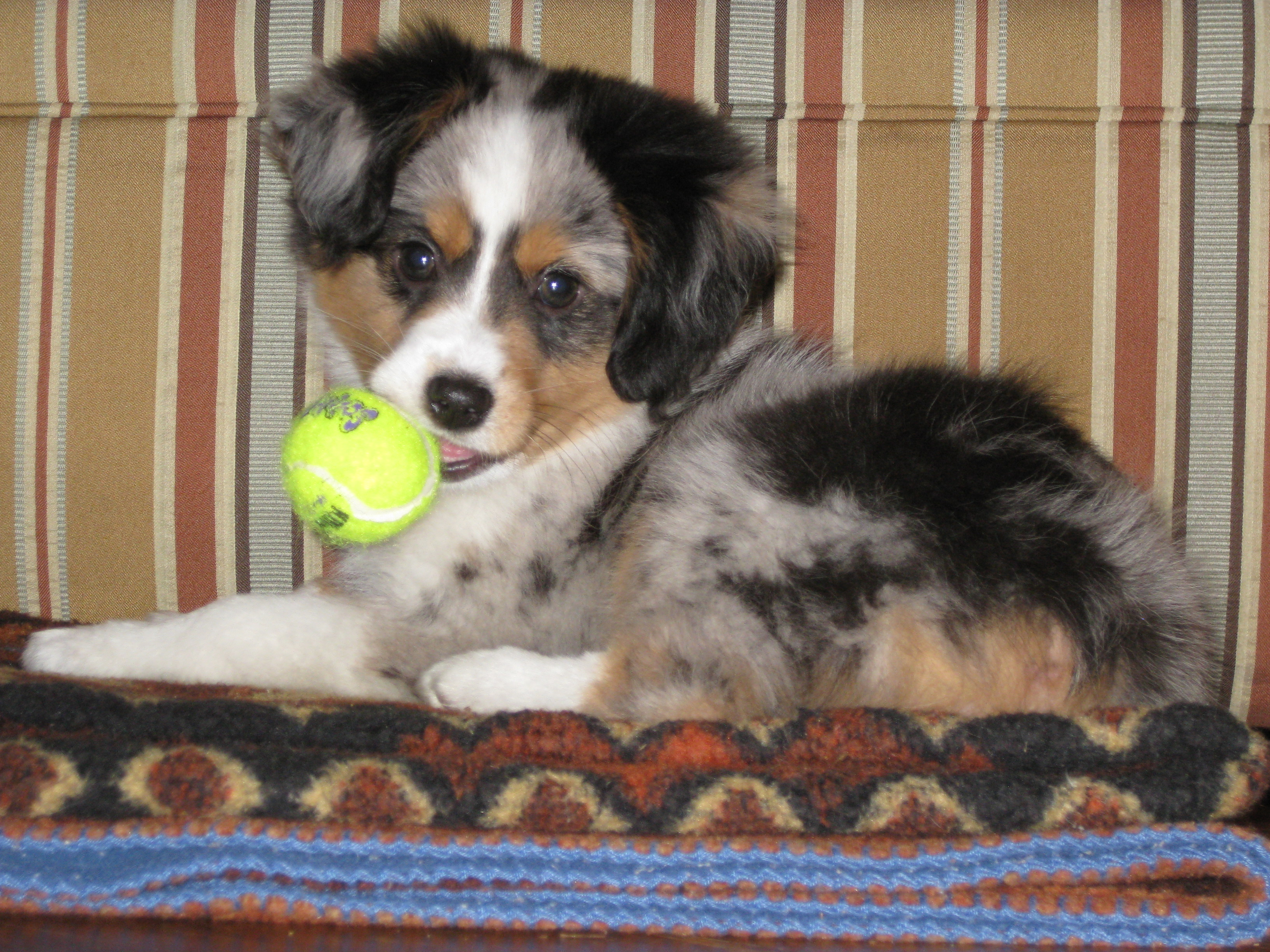 Blue Merle Mini Aussie Puppy