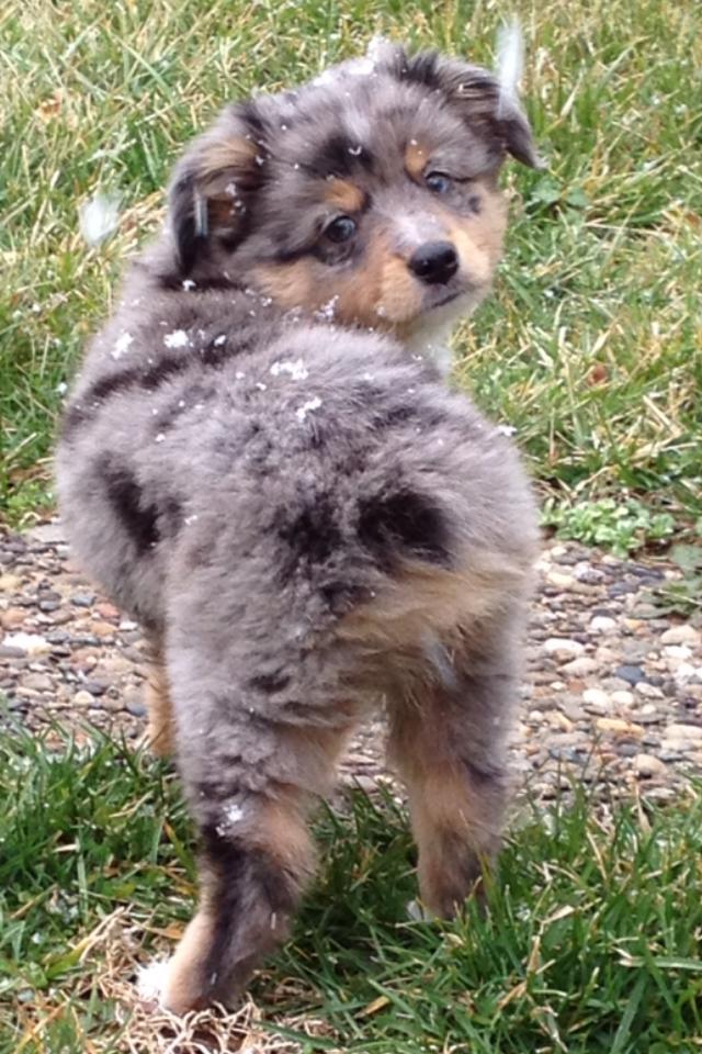 Alangus Mini Aussies A Dog Blog Pack Em Up And Take